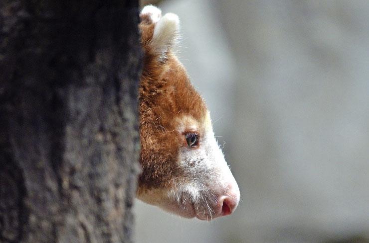 dendrolague kangourou arboricole liste des marsupiaux