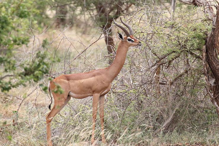 les antilopes d'Afrique gerenuk antilope girafe fiches animaux thematique habitat repartition poids taille alimentation reproduction