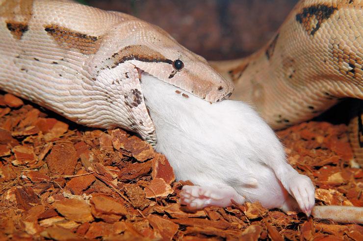 constricteur definition boa python