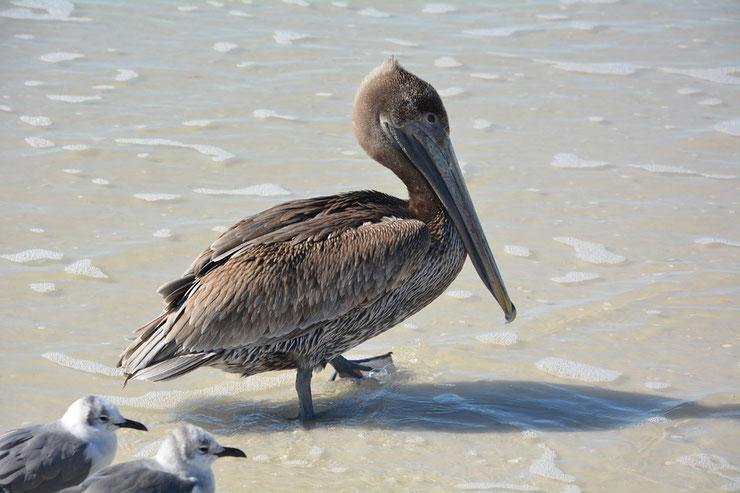pelican brunc poids taille habitat distribution fiche oiseaux longevite