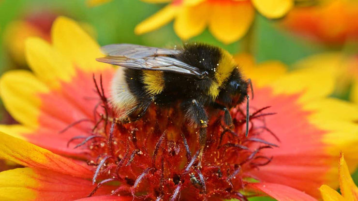 bourdon terrestre hymenoptere insectes jardins