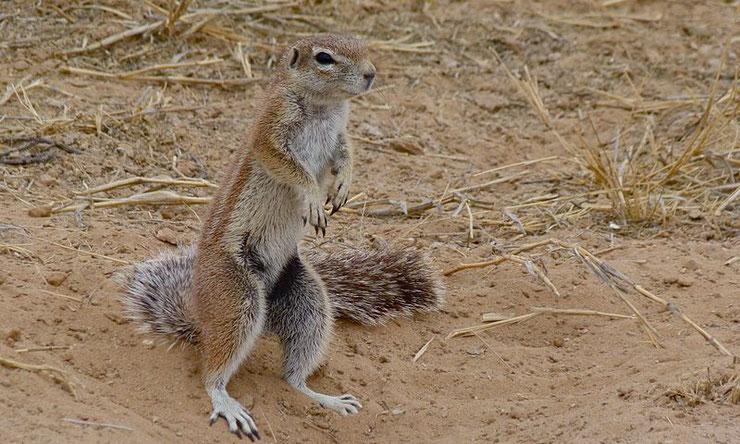 ecureuil fouisseur du cap fiche animaux afrique du sud comportement reproduction predateurs