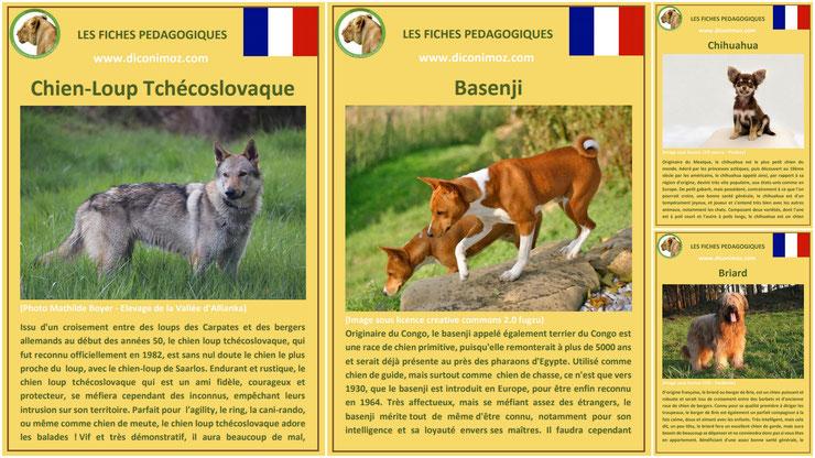 fiche animaux animal de compagnie  chien à telecharger et a imprimer pdf comportement origine caractere race chien loup tchecoslovaque basenji briard chihuahua plus petit chien du monde