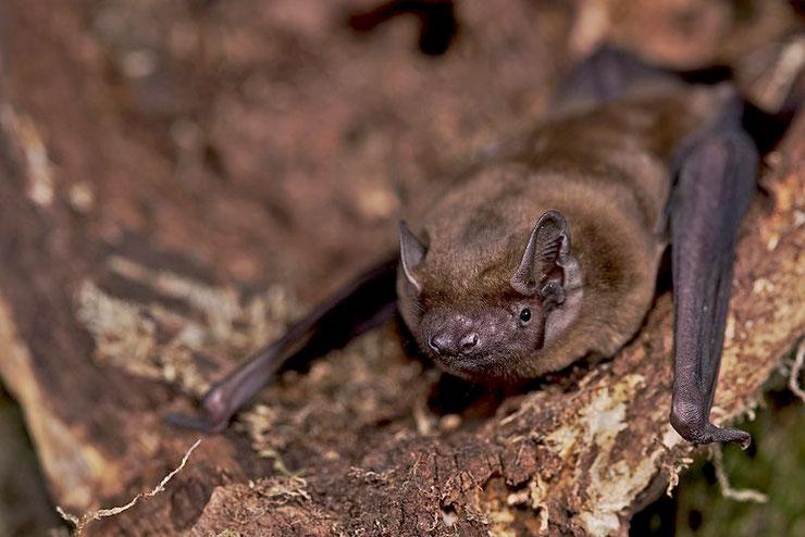 noctule commune chauve-souris fleur fiche animaux  taille poids alimentation reproduction