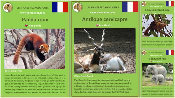fiches animaux asie pdf a telecharger et à imprimer pour l'ecole ou la maison  animals fact panda roux antilope cervicapre ecureuil geant inde elephant blackbuck