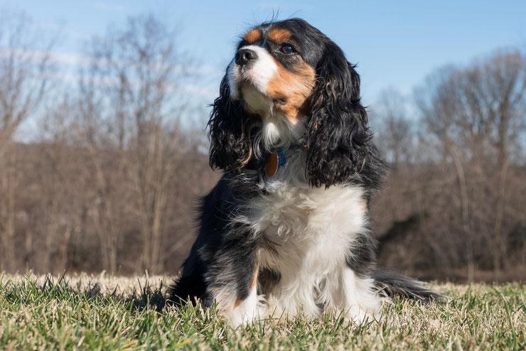 cavalier king charles fiche chien animaux origine caractere comportement race poil sante
