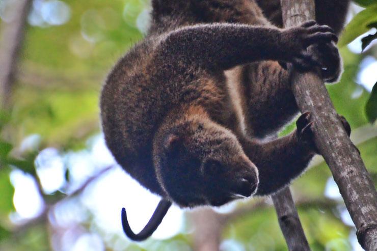 ailurops fiche animaux marsupial indonesie asie mammifere