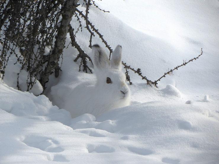 lapin lievre dans la neige cute animal rabbit hare