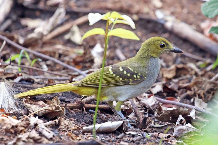 nicator à gorge grise fiche oiseaux animaux animal par N