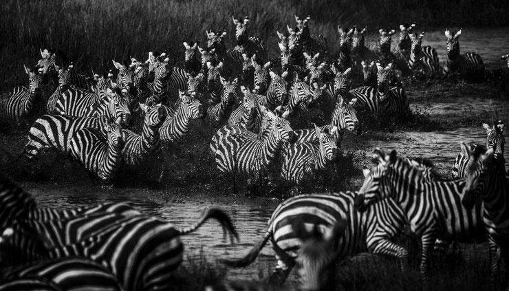 zebre afrique laurent baheux