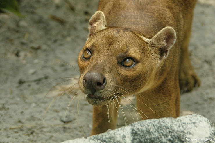 fossa fiche animaux madagascar animals fact