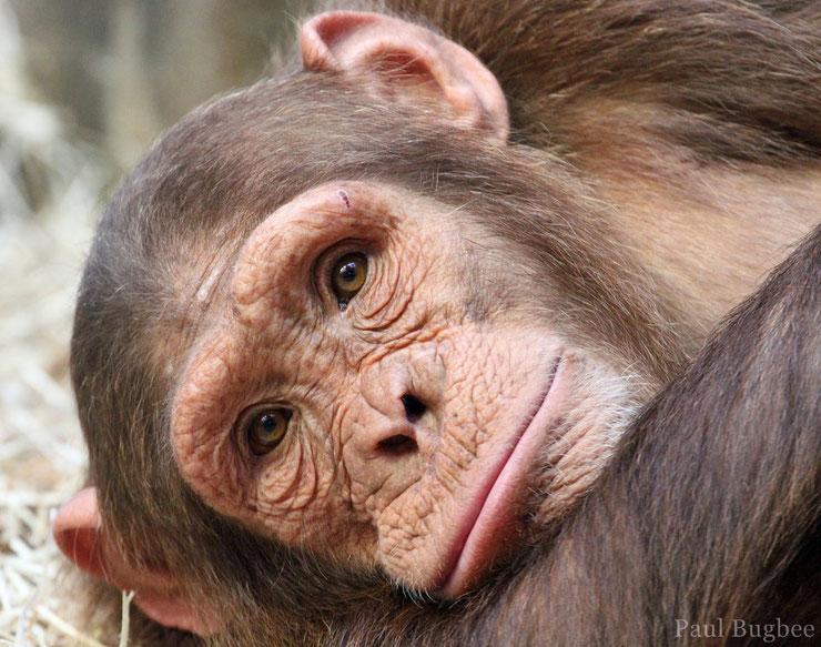 chimpanze fiche primates