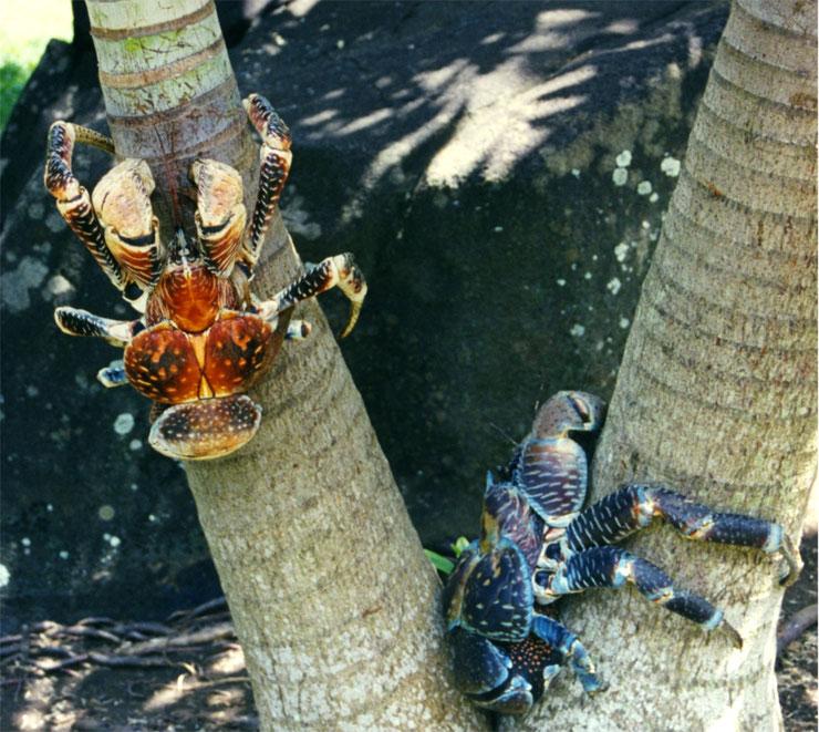 crabe des cocotiers polynesie tahiti