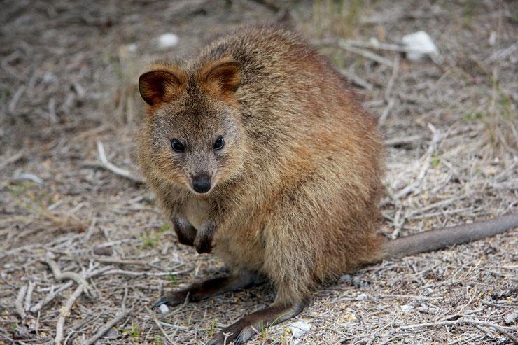 quokka liste des animaux marsupiaux