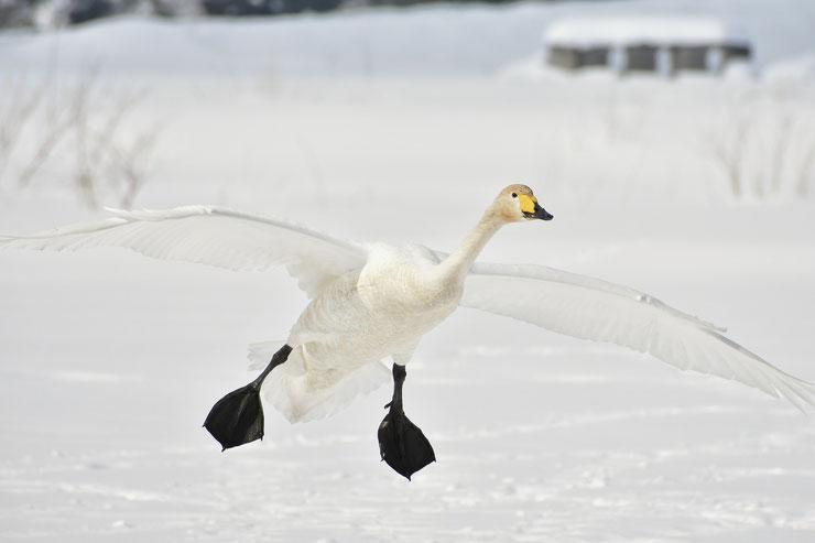 cygne chanteur oiseaux en vol animaux dans la neige swan