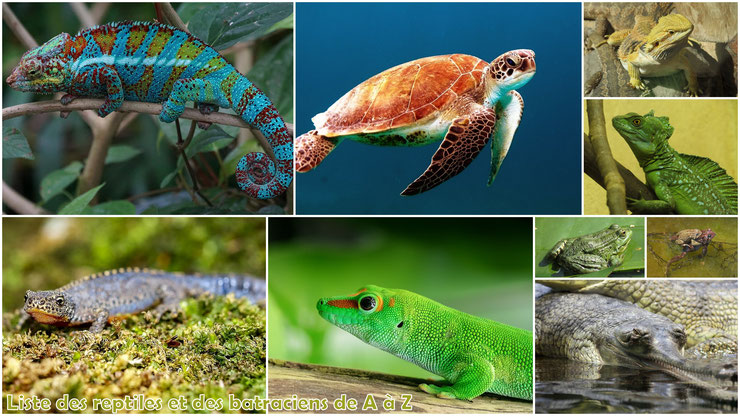 liste des reptiles et des batraciens amphibiens par ordre alphabétique de A à Z animaux