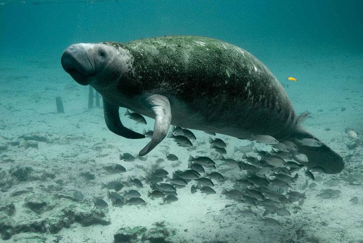 lamantin fiche mammiferes marins vaches des mers habitat comportement poids taille repartition alimnetation
