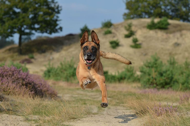 fiche chien malinois berger belge