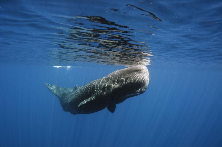 cachalot fiche animaux marins