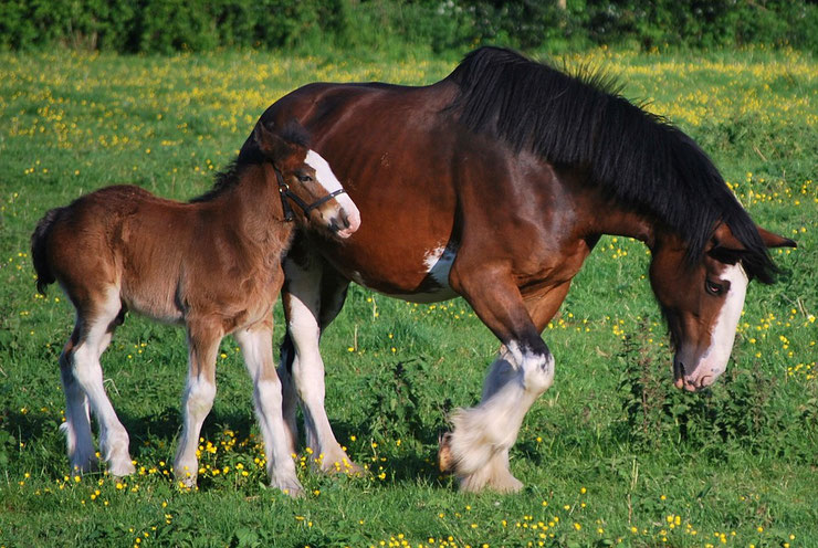 clydesdale fiche chevaux animaux