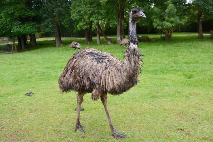 emeu d'australie classement plus grand oiseau terrestre