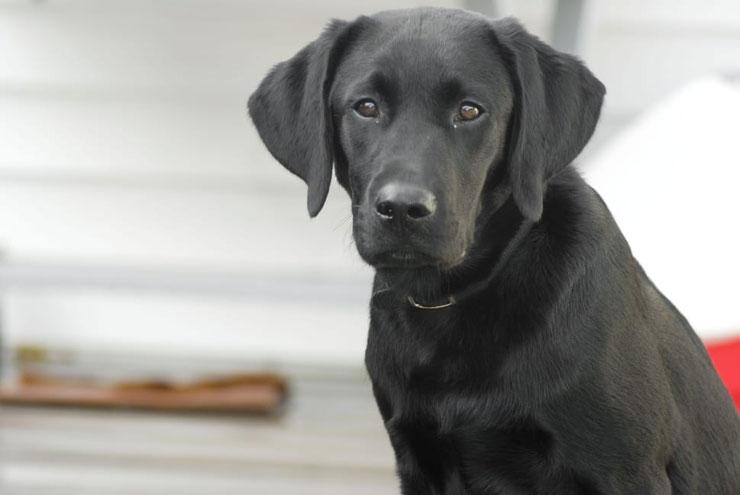 fiche identite chien caracteristiques labrador taille robe caractere