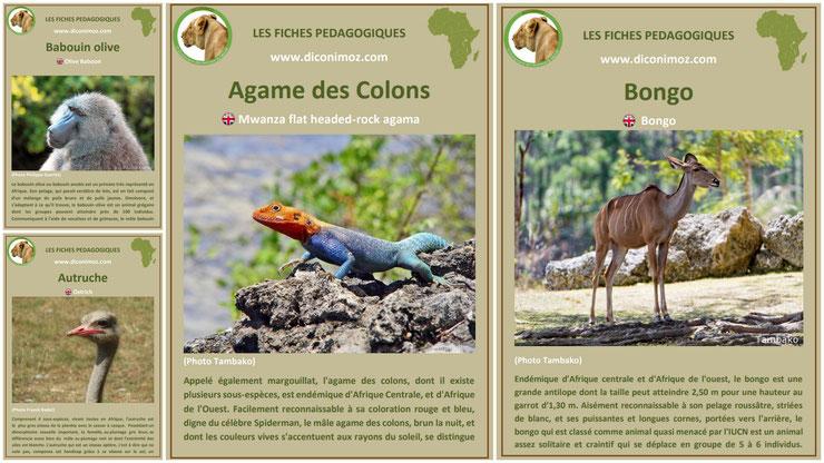 fiches animaux sauvages afrique à telecharger et a imprimer pdf download animal fact africa agame des colons autruche babouin olive anubis bongo
