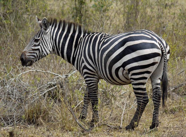 zebre des plaines animaux afrique poids taille distribution habitat alimentation