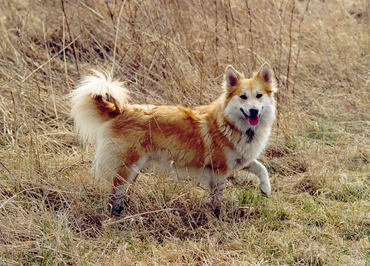 berger island icelandic sheep dog fiche chien animaux animal facts dog