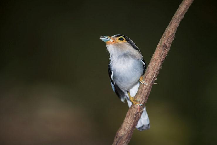 eurylaime de gould silver breasted broadbill facts oiseaux birds predateurs habitat