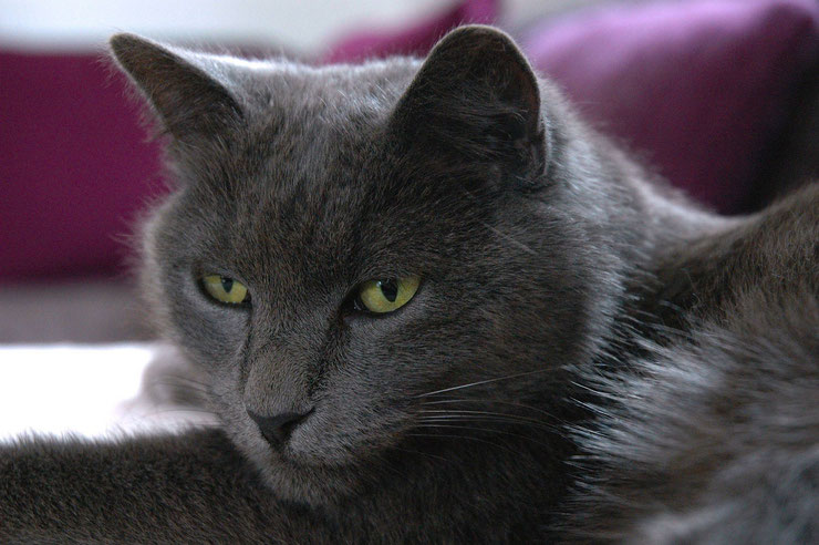 nebelung fiche chat race comportement origines caracteres poil sante robe