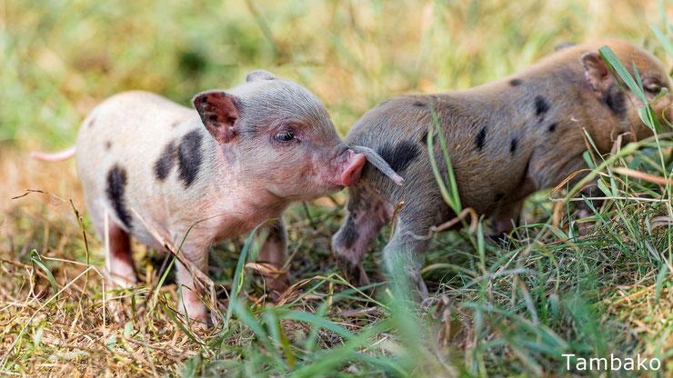 bebe cochon porcelet cute mignon baby pig animals cute