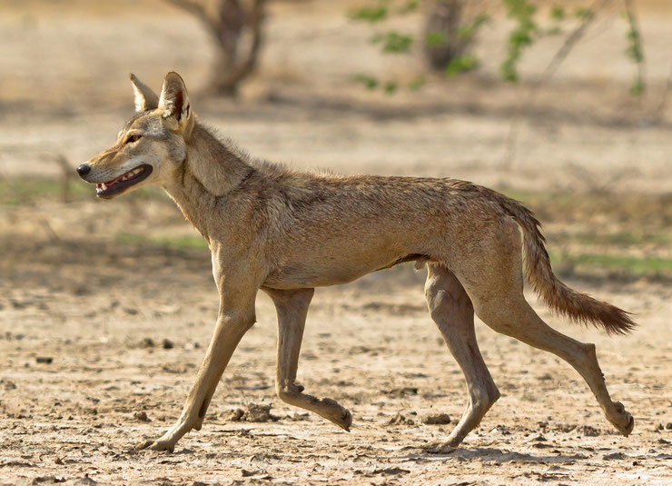 loup indien fiche animaux canides indian wolf animal fact