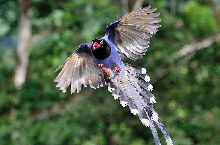 pirolle de taiwan  fiche animal animaux oiseaux bird facts blue magpie