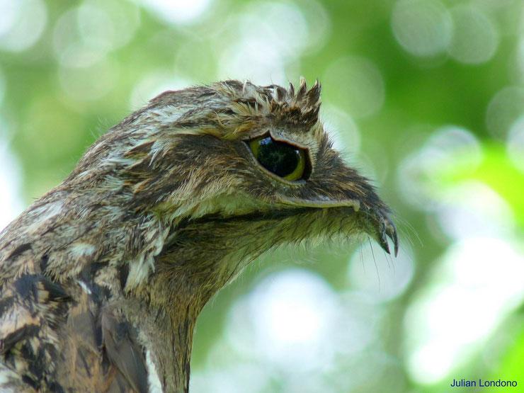 potoo ibjijau gris fiche animaux oiseaux animal facts bird common potoo