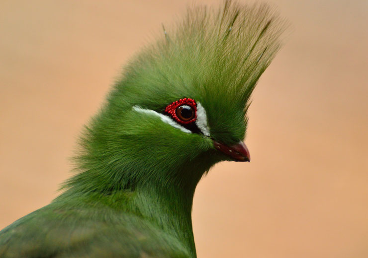 touraco vert fiche animaux oiseaux tauraco persa