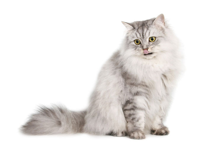 fiche animaux animal de compagnie  siberien race de chat sante origine comportement
