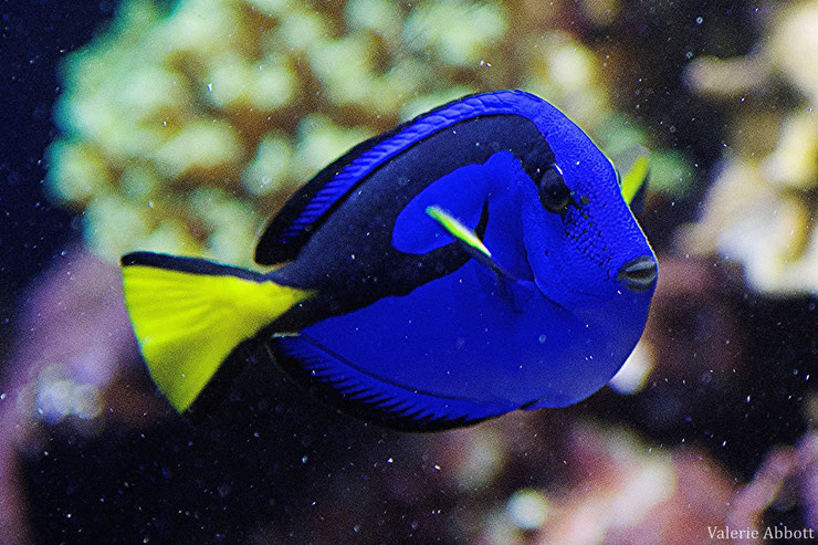 chirugien bleu fiche poisson animaux animals fact fish blue surgeon fish