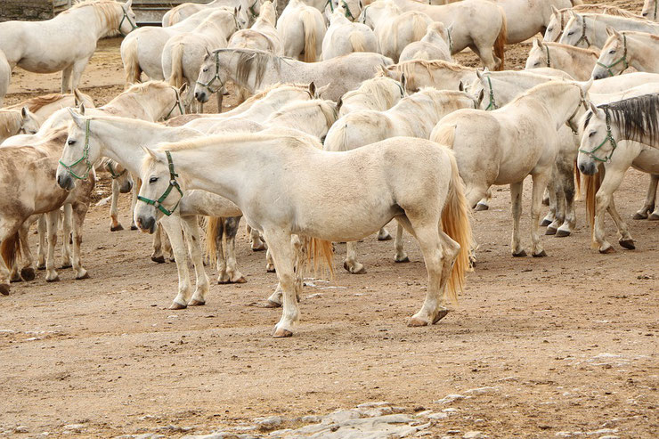 lipizzan fiche cheval chevaux animaux caractere origine sante