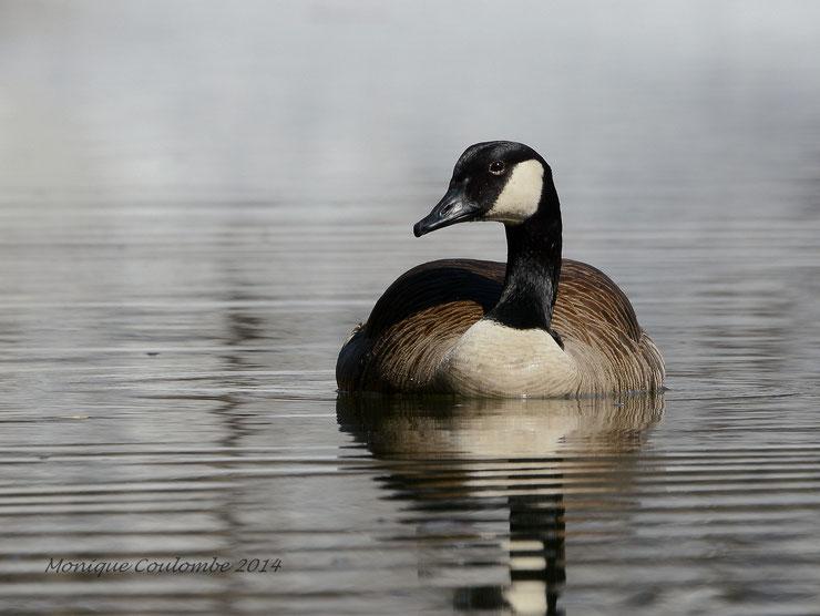 animaux canada goose quebec bernache