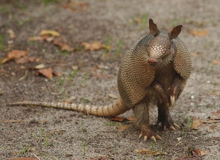liste des animaux d'amazonie tatou à 9 bandes animal facts list amazonian forest tatoo