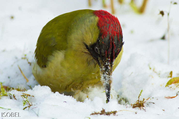 green woodpecker snow