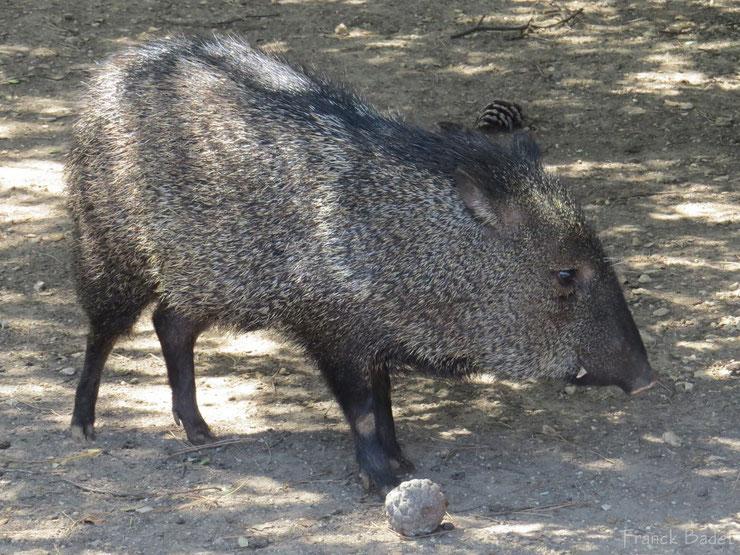 liste des animaux d'amazonie pecari a collier