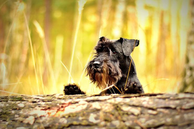 fiche animaux chien schnauzer caractere origine sante