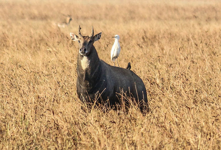 antilope nilgaut fiche animaux animal facts nilgai asia Boselaphus tragocamelus