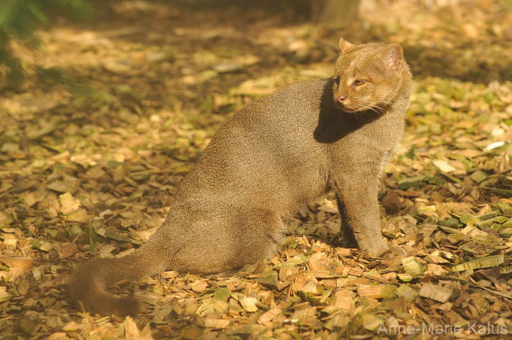 liste des animaux d'amazonie jaguarondi