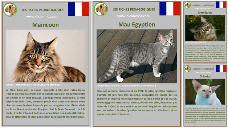 fiche animaux animal de compagnie  chat à telecharger et a imprimer pdf comportement origine caractere maincoon mau egyptien norvegien oriental