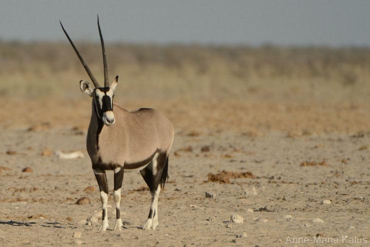 es antilopes d'Afrique oryx gazelle fiches animaux thematique habitat repartition poids taille alimentation reproduction