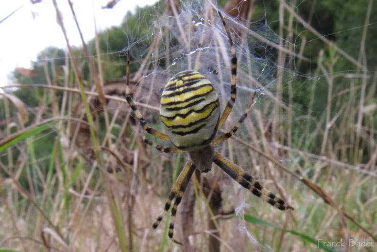 animaux a rayures argiope frelon