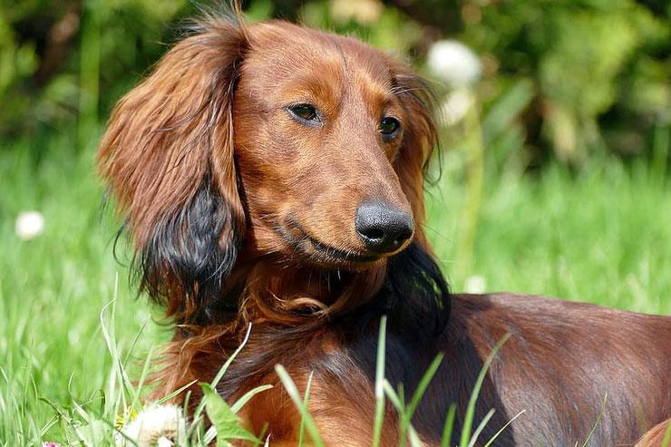 teckel  à poils longs fiche chien animaux race caractere comportement origine poil couleur